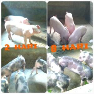 Ternak Babi di Bali. Atas tanpa Probiotik bawah dengan Probiotik