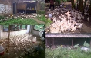Peternakan Ayam Pedaging di Lampung